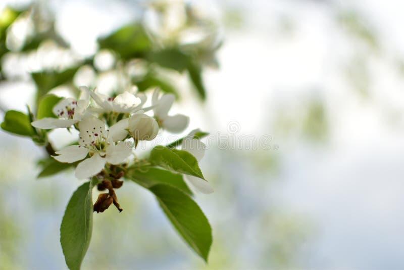 Цветение Яблока в саде стоковое фото