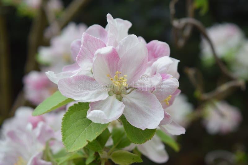 Цветение Яблока стоковые изображения rf