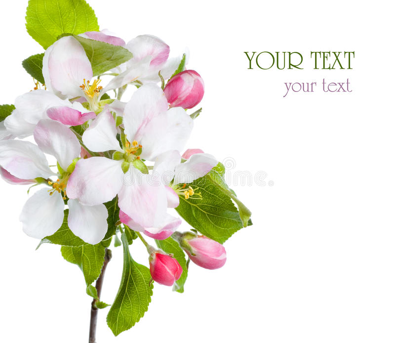 цветение яблока