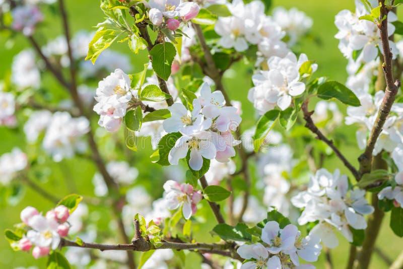 Цветение Яблока на дереве стоковое изображение
