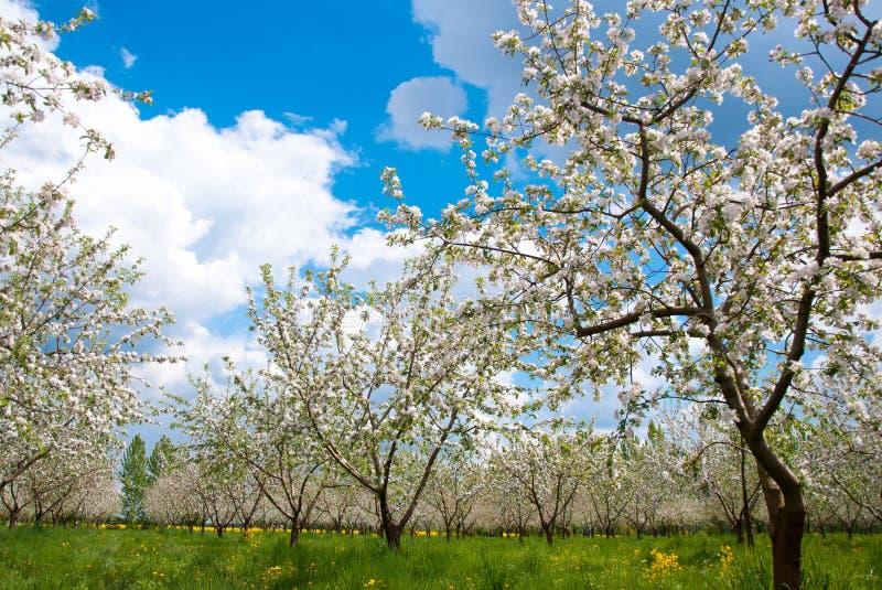 Цветение яблони с белыми цветками стоковая фотография rf