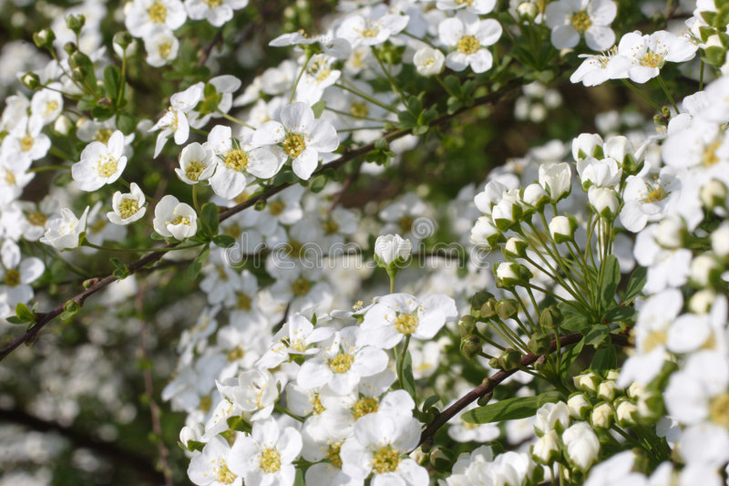 Download цветение bridal стоковое изображение. изображение насчитывающей цветки - 494693