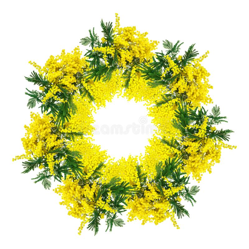 Цветение circlet цветка мимозы изолированное на белой предпосылке Шаблон рамки поздравительной открытки Глубина Shellow стоковое фото