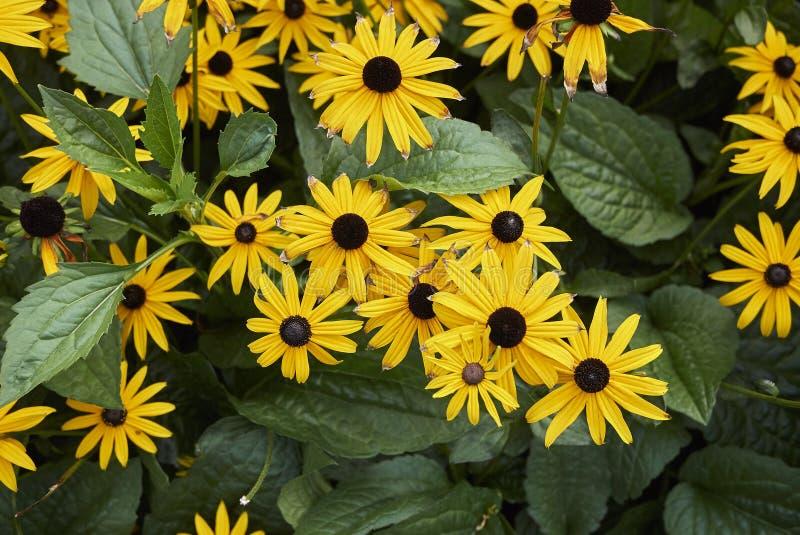 Цветение fulgida Rudbeckia стоковые фото