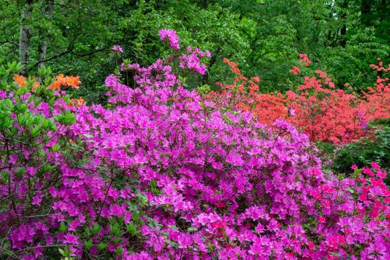 Цветение Rododendrons в hungaian саде страны в саде дендропарка Jeli ботаническом стоковое фото rf