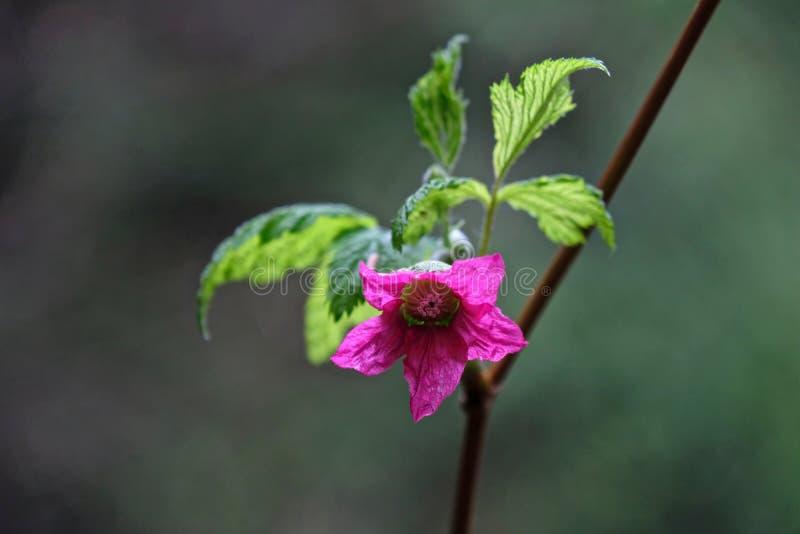 Цветение Salmonberry весной стоковое фото