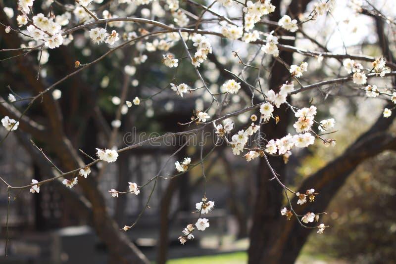 Цветение serrulatain сливы Сакуры стоковая фотография