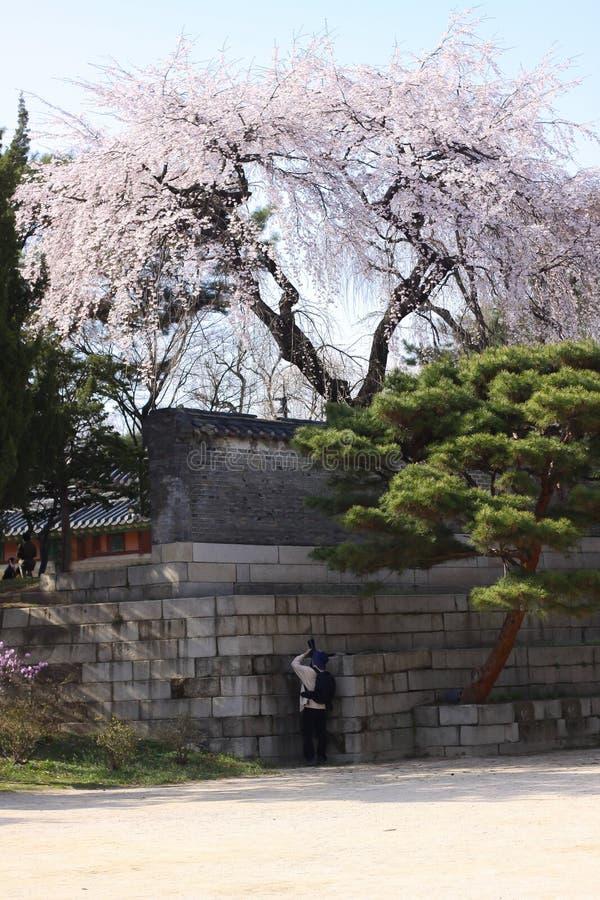 Цветение serrulatain сливы Сакуры стоковая фотография rf