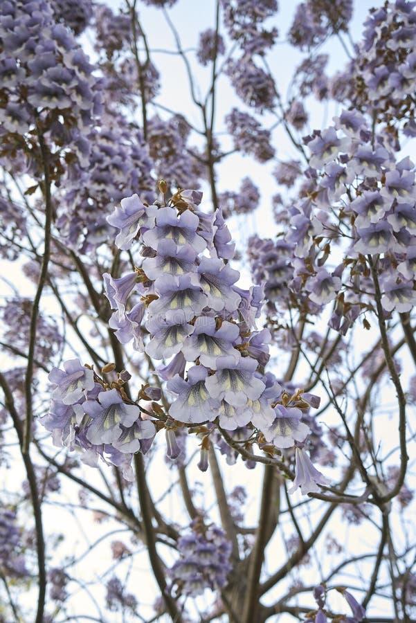 Цветение tomentosa Paulownia стоковые изображения rf