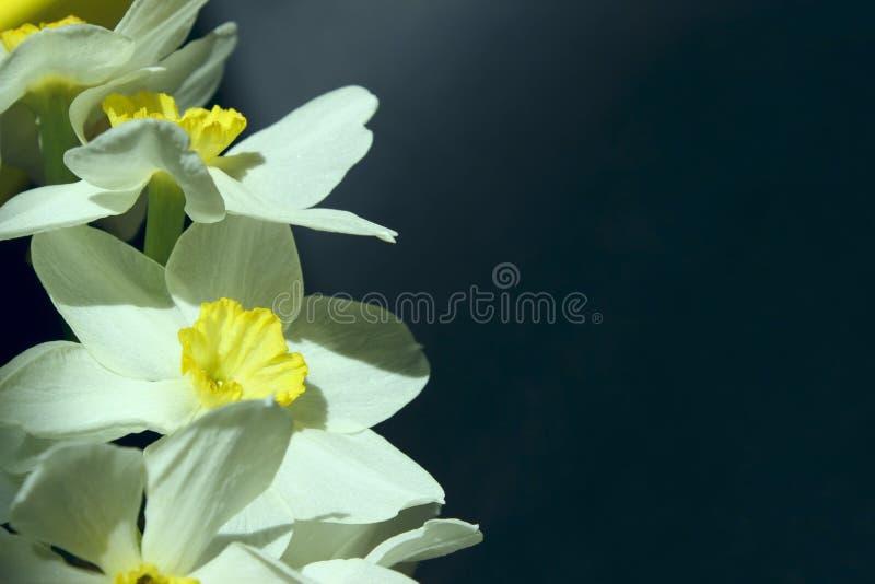 Цветения абрикоса над запачканной предпосылкой природы стоковая фотография rf