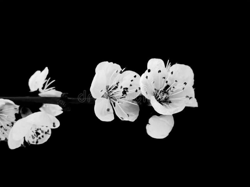 Цветения абрикоса на черной предпосылке стоковое изображение