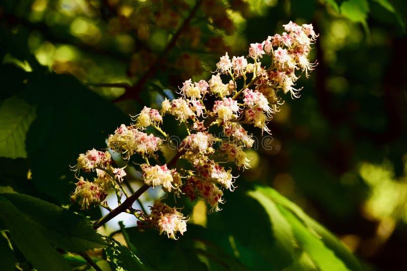 Цветения большого дерева зацветая стоковое изображение