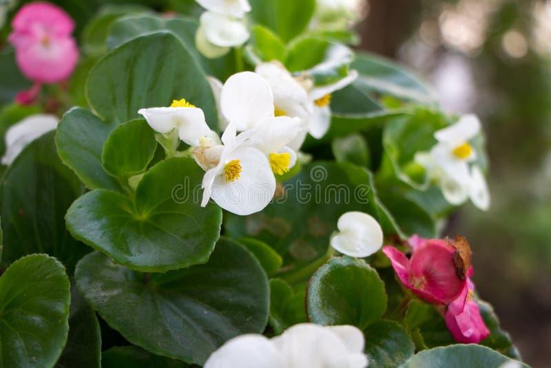 Цветения весьма конца-вверх белые и розовые Kalanchoe, концепция лета весны, выборочный фокус стоковое изображение rf