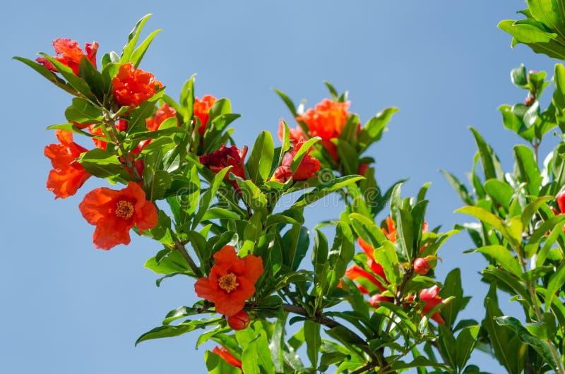 Цветения гранатового дерева стоковое изображение
