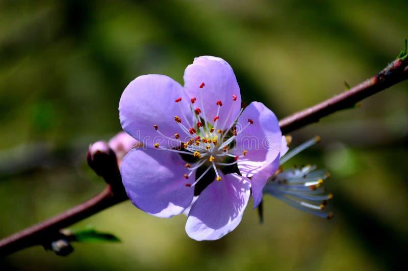 Цветения грушевого дерев дерева весны Техаса стоковое изображение rf