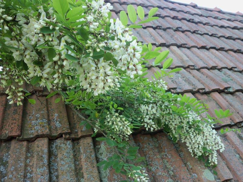 Цветения дерева саранчи на старой крыше стоковые изображения rf