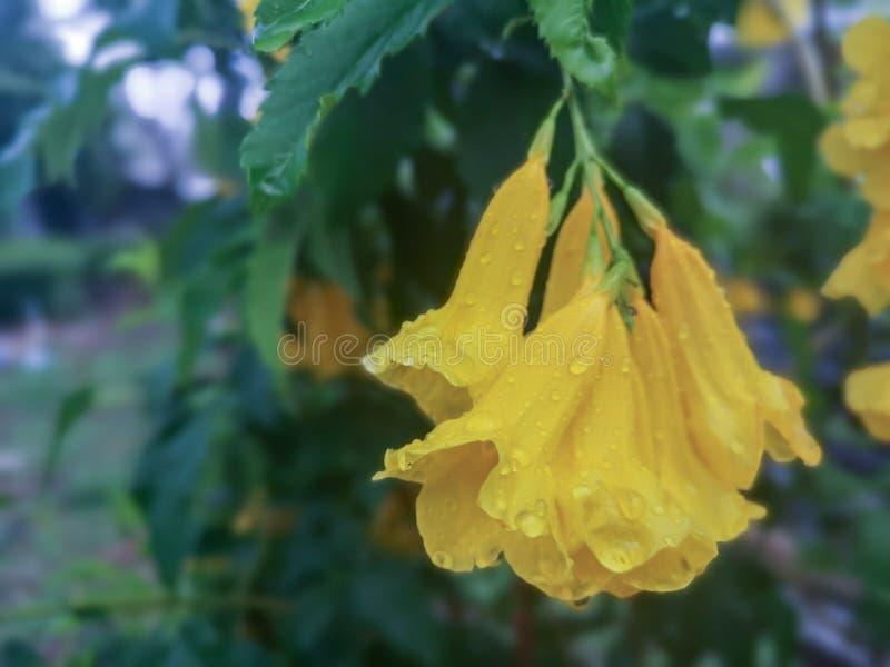 Цветения желтого старшего цветка с падением дождя Общие имена включают желтое Trumpetbush, желтые колоколы, stans имбиря-thomasTe стоковое фото