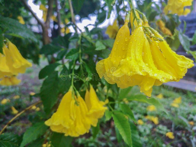 Цветения желтого старшего цветка с падением дождя Общие имена включают желтое Trumpetbush, желтые колоколы, stans имбиря-thomasTe стоковое фото rf