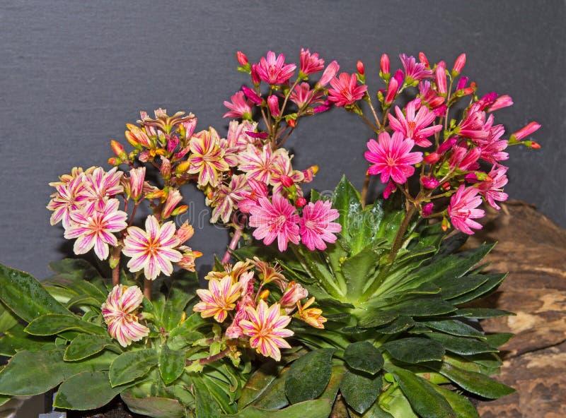 Цветения заводов lewisia стоковые фотографии rf