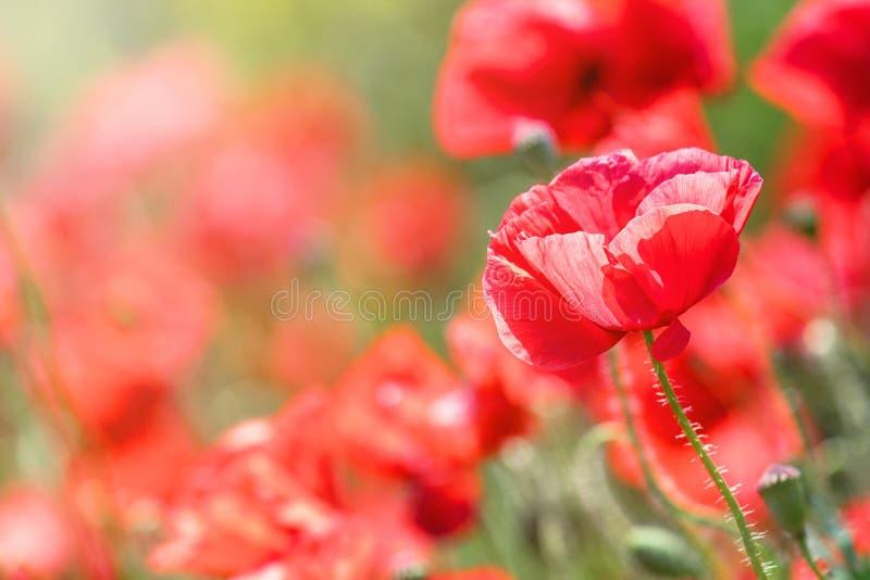 Цветения маков цветков поле красного одичалое стоковое фото rf