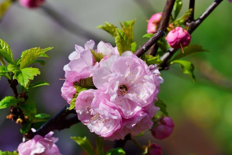 Цветения миндалины (нагнетания triloba сливы) стоковые фотографии rf