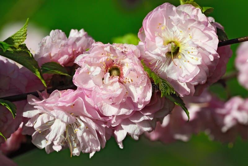 Цветения миндалины (нагнетания triloba сливы) стоковое фото rf