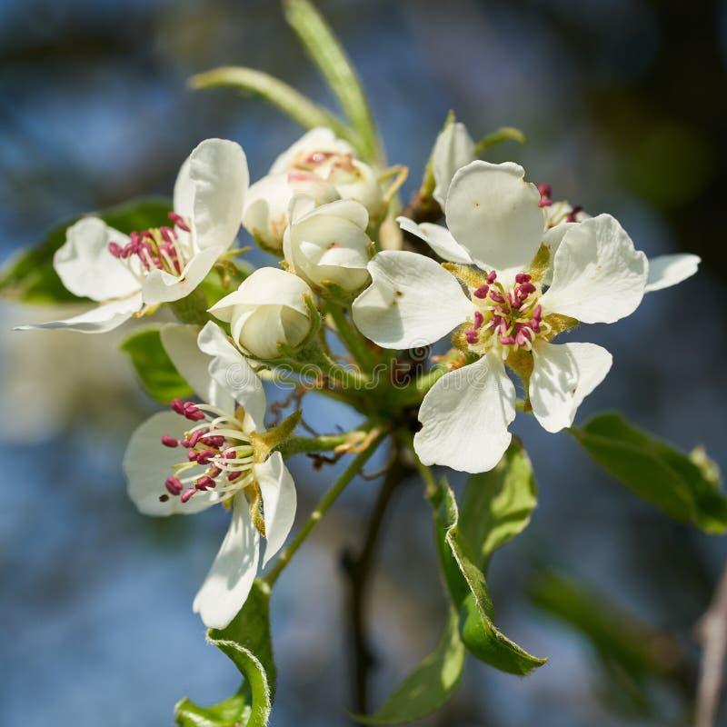 Цветения на дикой яблоне стоковые изображения rf