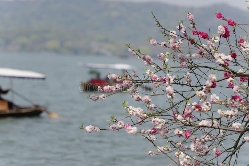 Цветения персика от западного озера в Ханчжоу стоковые фотографии rf