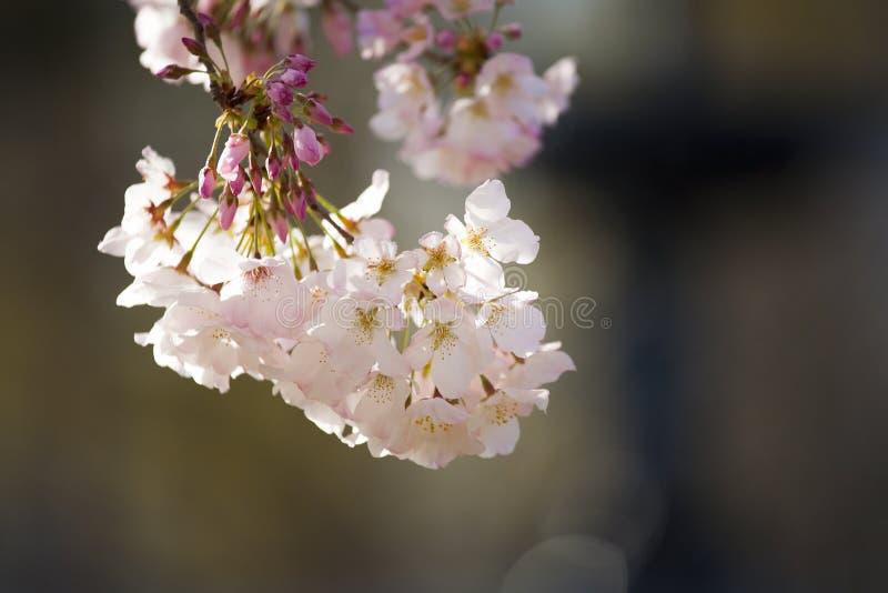 Цветения пинка и белых на цветя дереве весной стоковые фотографии rf