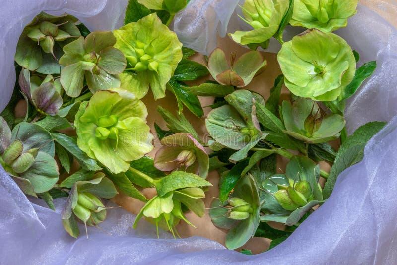 Цветения цветков морозников после цвести стоковая фотография