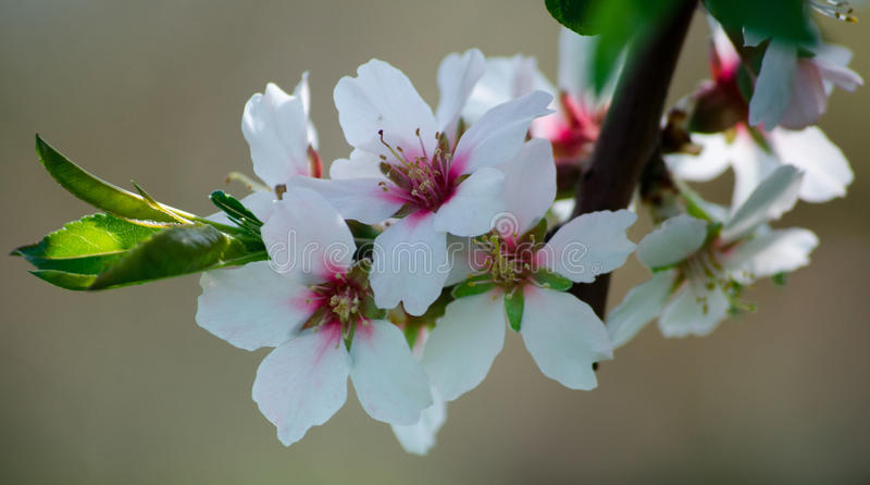Цветения цветков dulcis сливы цветения миндалины стоковая фотография rf
