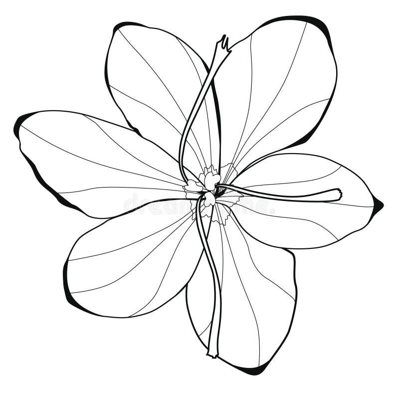 Цветения шафрана иллюстрация графика расцветки книги цветастая иллюстрация вектора