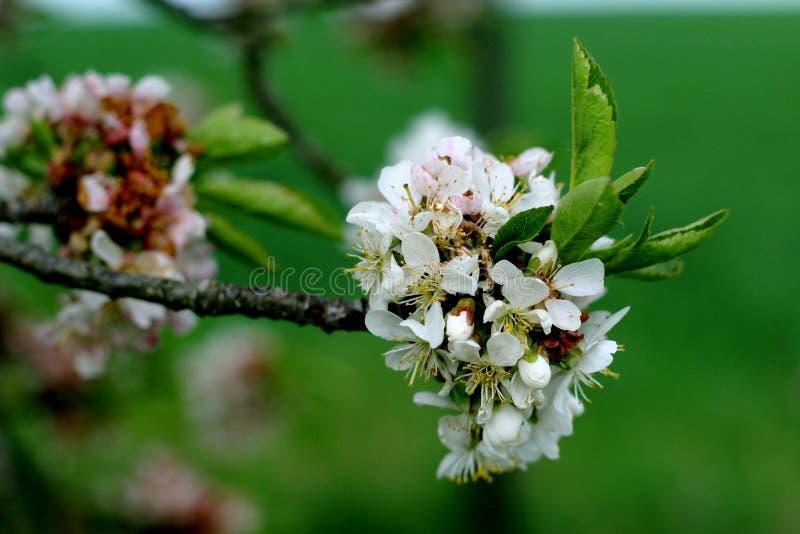 Цветения Яблока весной стоковые изображения rf
