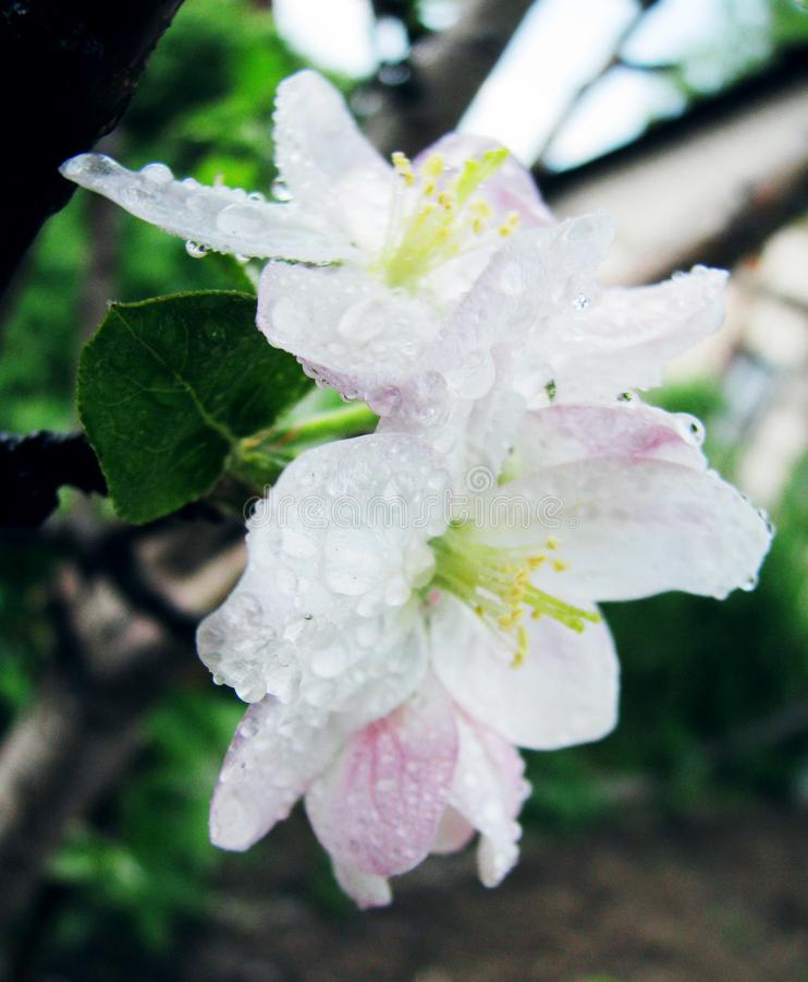 Цветения Яблока в саде стоковое фото rf