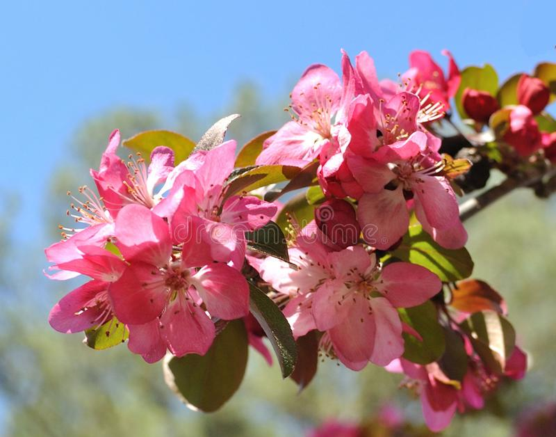 Цветения Яблока краба стоковая фотография