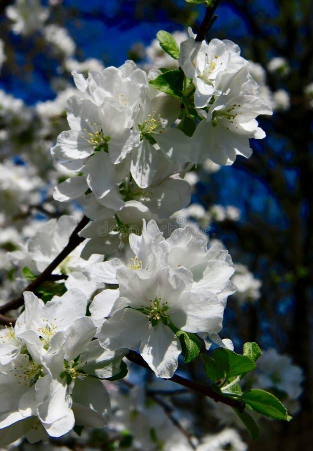 Цветения Яблока краба стоковые фото