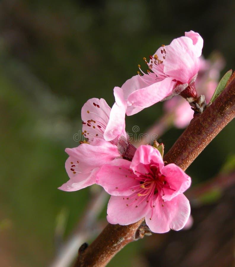цветения яблока посылают информационные пакеты вал стоковая фотография
