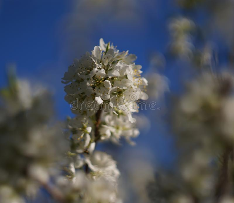 Цветения Яблока с белыми цветками стоковые фото