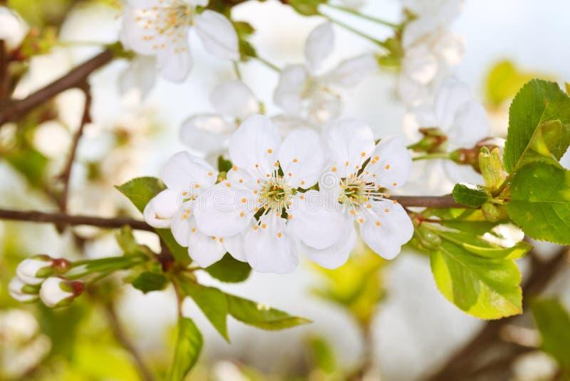 цветения яблока стоковые изображения