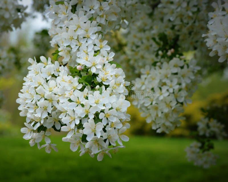 цветения яблока белые стоковое фото rf