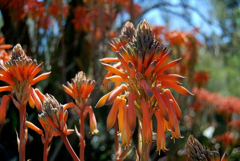 Цветеня апельсина цветка пустыни стоковые фото