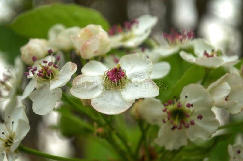 Цветеня Брэдфорда стоковое фото rf