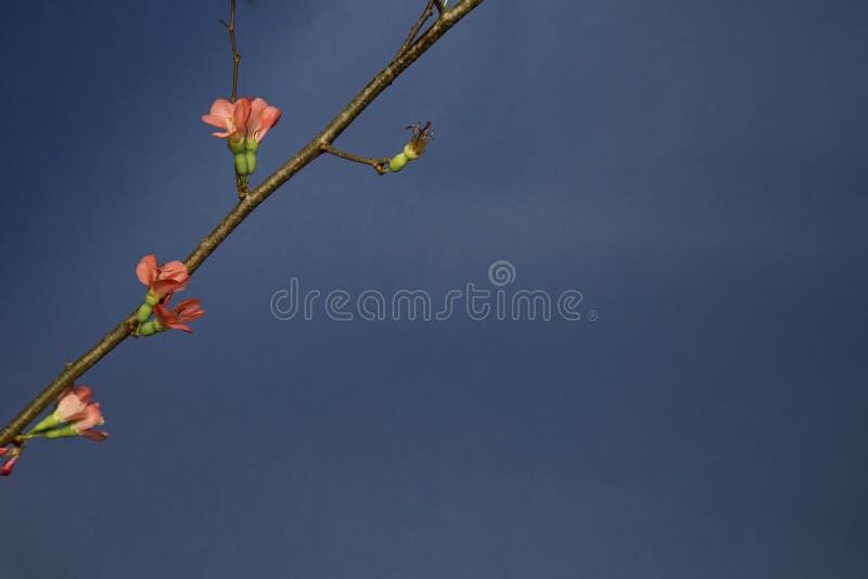 Цветеня весны на дереве стоковые изображения rf