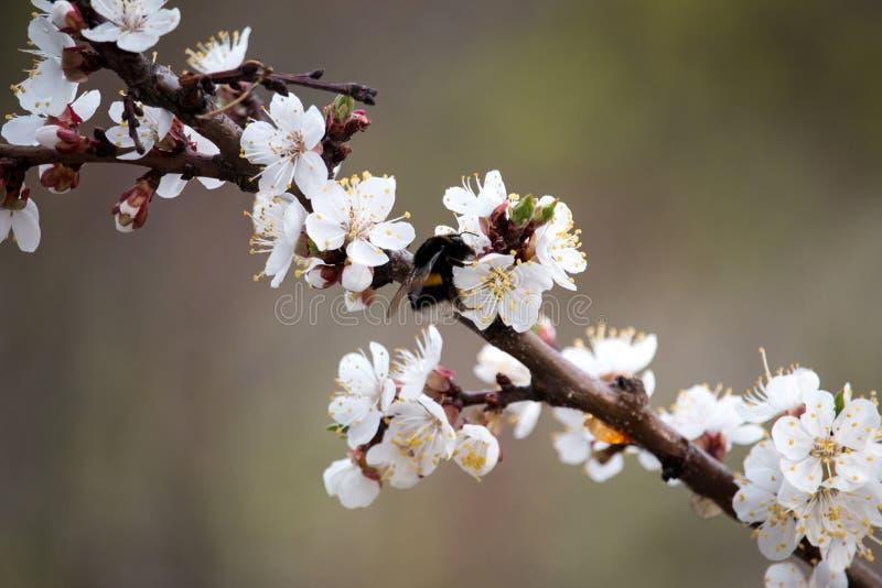Цветеня дерева абрикоса стоковые фото