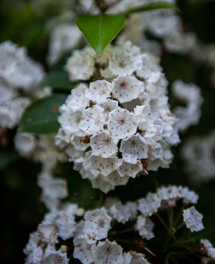Цветеня лавра горы стоковые фотографии rf