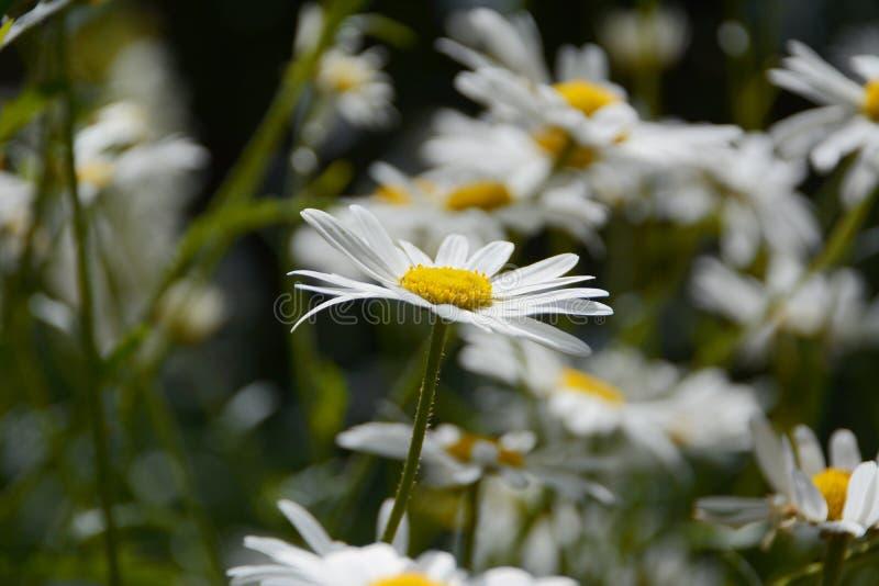 Download Цветеня маргаритки стоковое фото. изображение насчитывающей closeup - 41662332