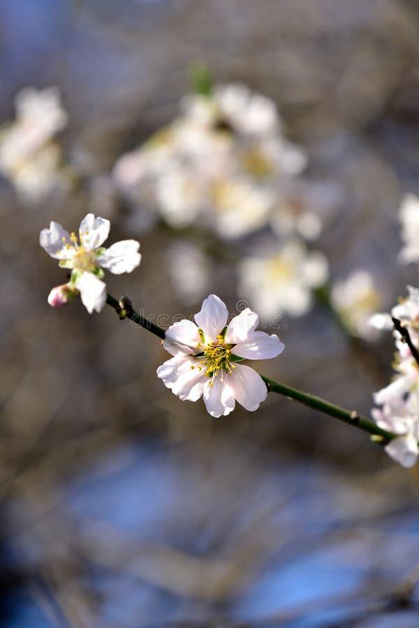 Цветеня миндального дерева белые стоковые фотографии rf