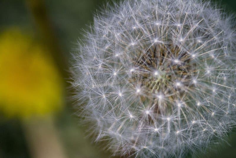 Цветеня одуванчика плод одуванчика r цветки зацветают зеленый луг зеленый сад семена одуванчика зонтики одуванчика стоковая фотография rf