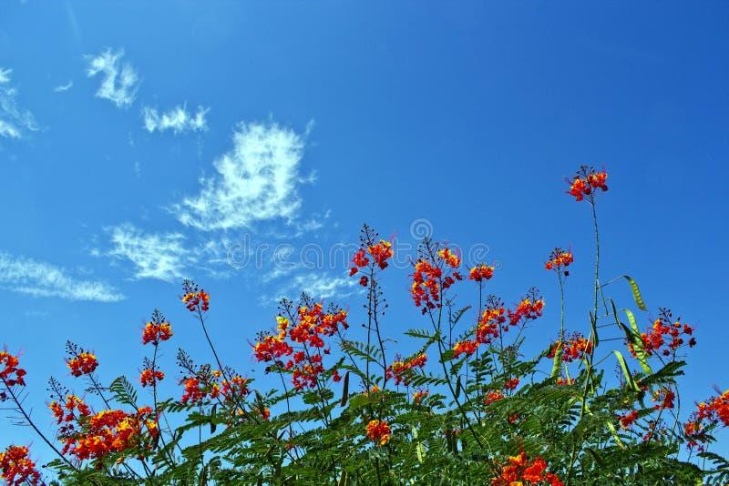 Цветеня пустыни стоковое фото