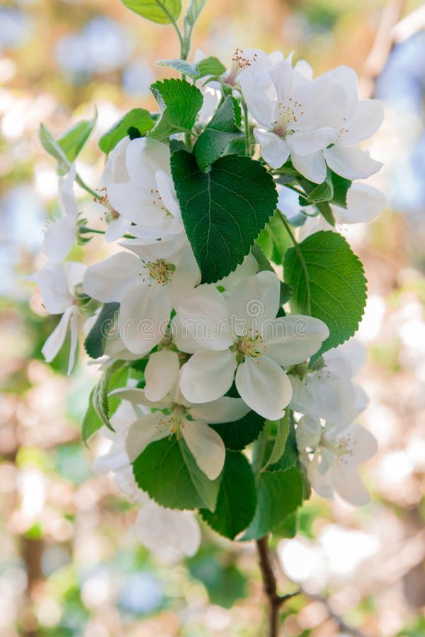 Цветеня яблони с красивыми белыми цветками стоковая фотография